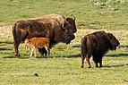 Bison calf suckling.jpg