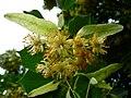 Blüten der Sommerlinde.JPG