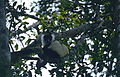 Black-and-white Ruffed Lemur (Varecia variegata) (9674431726).jpg