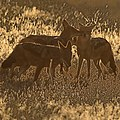 Black-backed jackals in the morning light (37871566865).jpg