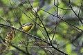Black-eared Shrike-babbler Khonoma Nagaland 19.10.2018.jpg