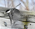 Black Capped Chickadee (200577697).jpeg
