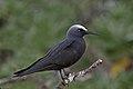 Black Noddy (Anous minutus) (42450468011).jpg
