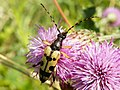 Black and Yellow Longhorn (Rutpela maculata) (7661860606).jpg