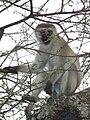 Black faced vervet monkey Chlorocebus pygerythrus in Tanzania 0923 cropped Nevit.jpg