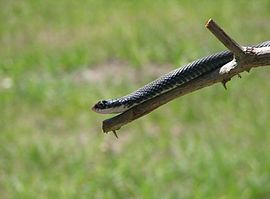 Black racer close-up.JPG