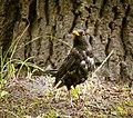 Blackbird (20161142742).jpg