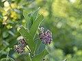 Blacklick Woods - Asclepias incarnata 1.jpg