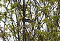 Blackpoll Warbler, Sand Lake MI, May 3, 2012 (my earliest ever for MI) (7139696427).jpg