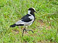 Blacksmith Lapwing (Vanellus armatus) (11452587046).jpg