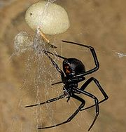 UCR research on spider silk has identified the gene for the main protein that female spiders use to make their egg cases. Photograph by Mark Chappell, 2005.