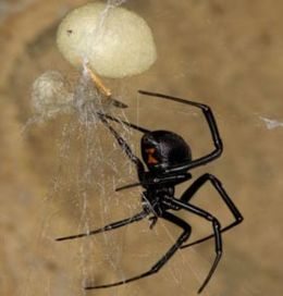 Blackwidow eggsac silk.jpg