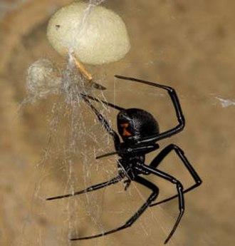 Latrodectus hesperus - Image: Blackwidow eggsac silk