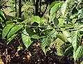 Blepharistemma serratum 06.JPG