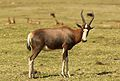 Blesbok, Damaliscus pygargus phillipsi, at Krugersdorp Game Reserve, Gauteng, South Africa (27410219371).jpg