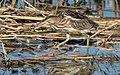 Blongios nain Ixobrychus minutus DSC 0422 (50311472812).jpg