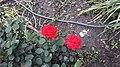 Blooming red roses.jpg