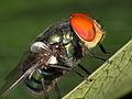 Blowfly indet. (6446168067).jpg