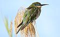 Blue-cheeked bee-eater, Merops persicus, Chobe National Park, Botswana (32445436676).jpg