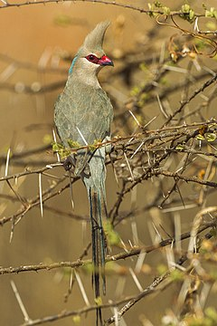 Blue-naped Mousebird - Samburu S4E5310 (16121434537).jpg