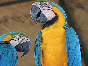 Blue-yellow Macaws.jpg
