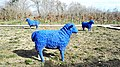 Blue Sheep (26116127380).jpg