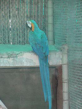 Blue parrot queen.jpg