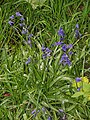Bluebells - geograph.org.uk - 267929.jpg