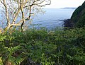 Bluebells and bracken by the coast path - geograph.org.uk - 808229.jpg