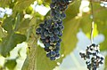 Bluemont grapes.jpg