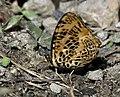 Bluetail Jester (Symbrenthia niphanda) I IMG 6679.jpg