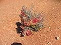 Blumen Koichab 03.JPG