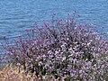 Bolsa Chica - Flora 4.jpg