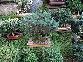 "Bonsai (盆栽, ""tray gardening"", in Japanese) pic. aao2.jpg"