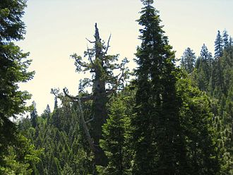 Converse Basin - The Boole tree, top branches mostly dead