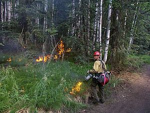 Betula papyrifera - A prescribed fire in a black spruce-paper birch-quaking aspen community in boreal Alaska