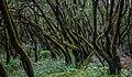Bosque Encantado, Parque nacional de Garajonay, La Gomera, España, 2012-12-14, DD 16.jpg