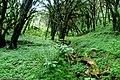 Bosque de Podocarpus parlatorei en las Yungas de Catamarca, Argentina.JPG