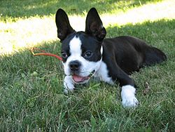Boston Terrier puppy resting on the grass.jpg