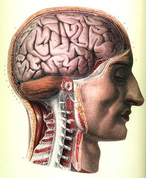 Neuroanatomy - J. M. Bourgery's anatomy of the brain, brainstem, and upper spinal column