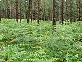 Bracken beneath the pines, Alderhill Inclosure, New Forest - geograph.org.uk - 477317.jpg
