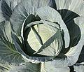 Brassica oleracea 2011 G1.jpg