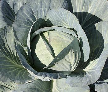 Cabbage in a kitchen garden.