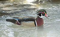 Wood duck / Ànec carolí