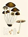Bresadola - Hypholoma hydrophila.png