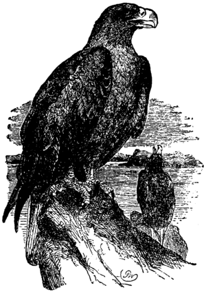 Britannica Eagle - Sea-Eagle.png