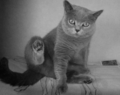 British-shorthair.png