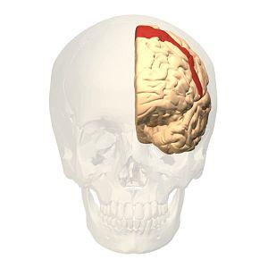Brodmann area 6 - Image: Brodmann area 6 frontal