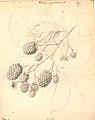 Brombær - Rubus Armeniacus (9247294710).jpg