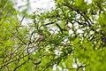 Brown-crested flycatcher (47754450931).jpg